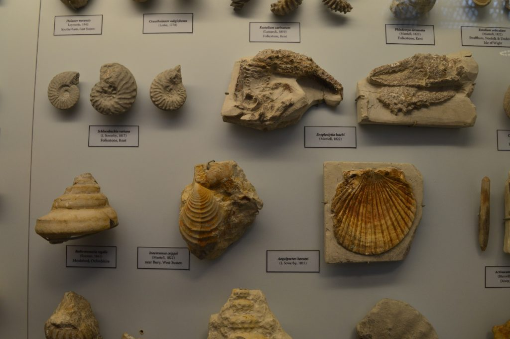 A variety of invertebrate fossils from the Cretaceous currently housed at the Oxford Museum of Natural History, some of which belong to groups that are included in my research. Large-scale studies of past life often use shelly invertebrates because of their relatively good fossil record.